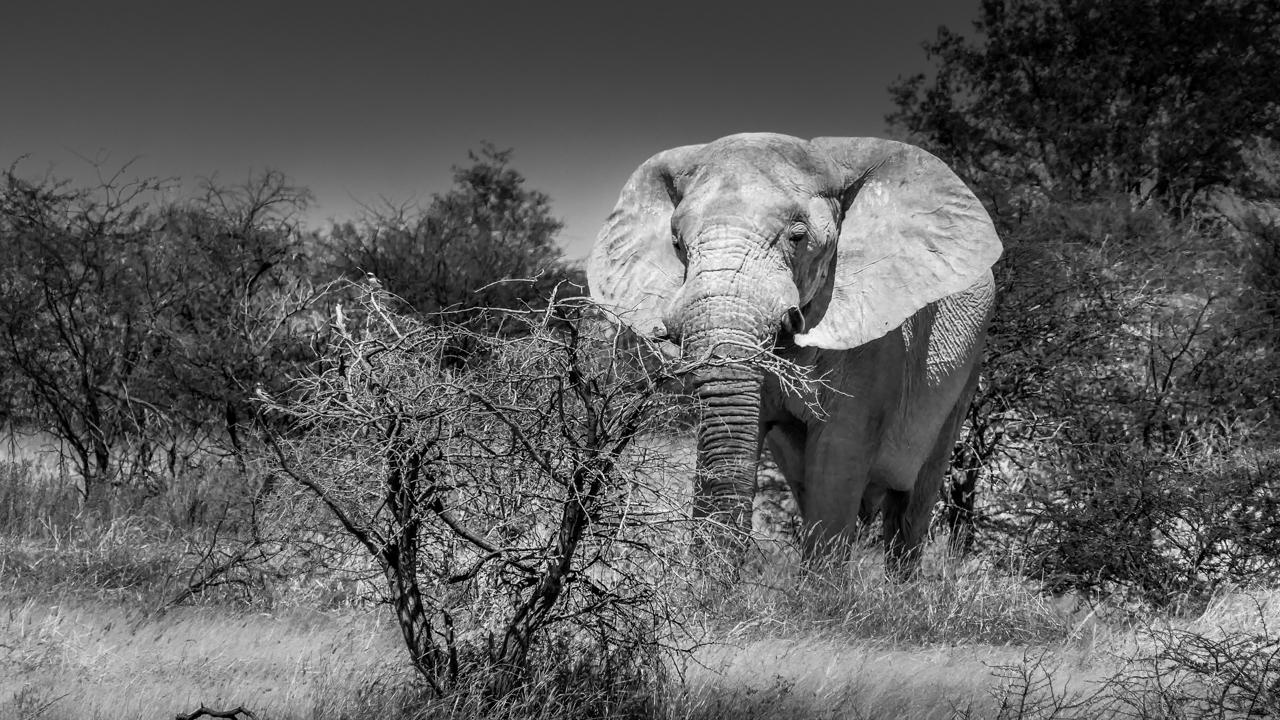 elefante-in-botwana
